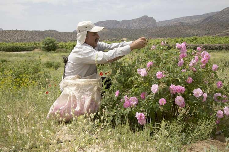 رونق اشتغال و صادرات با عطر گل محمدی