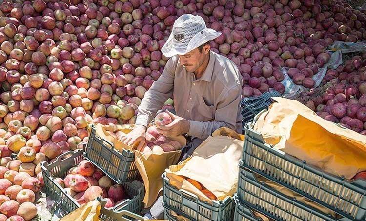 سیب ارزان؛ بلای جان باغداران